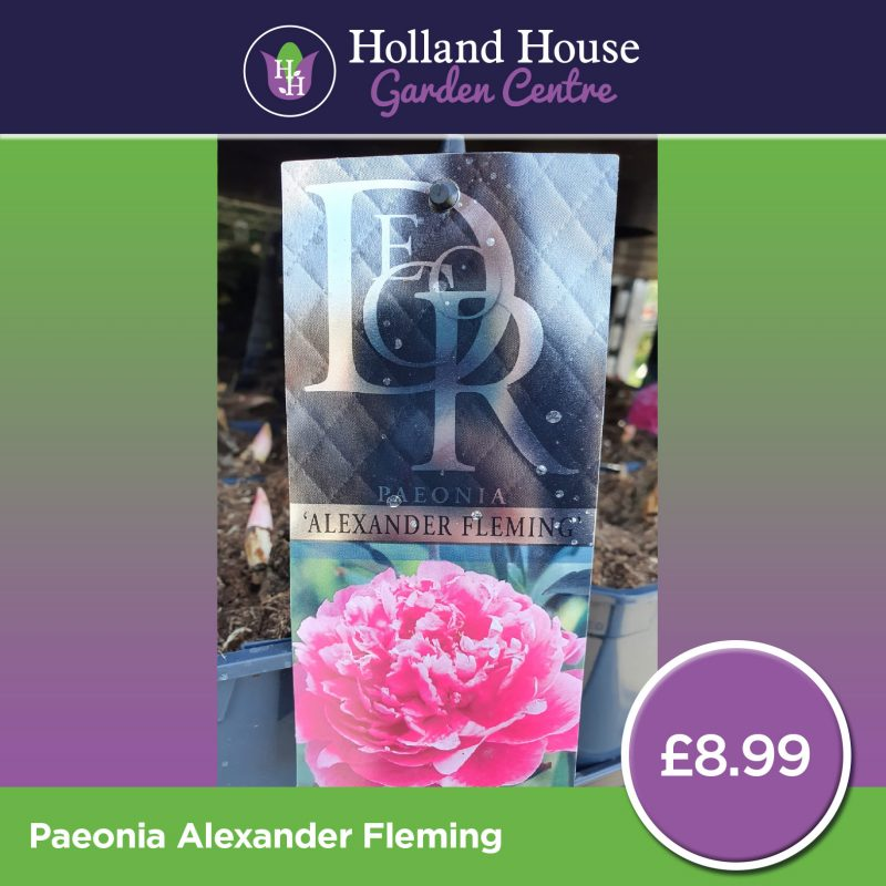 Holland House Peony - Doctor Alexander Fleming