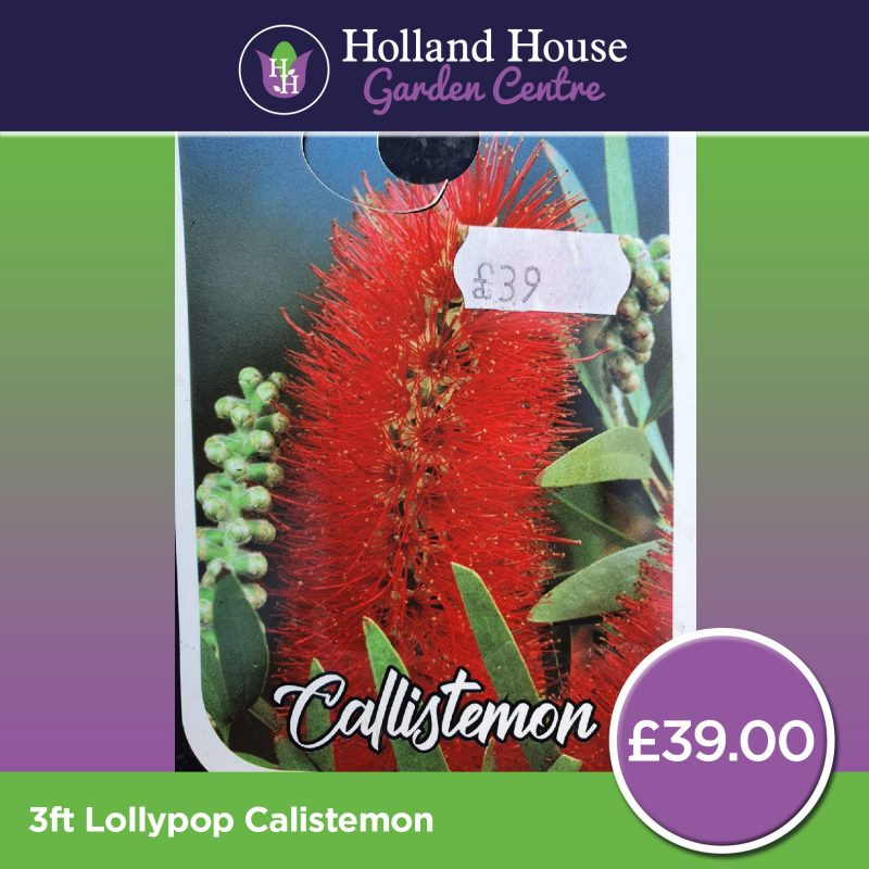 3ft Lollypop Calistemon