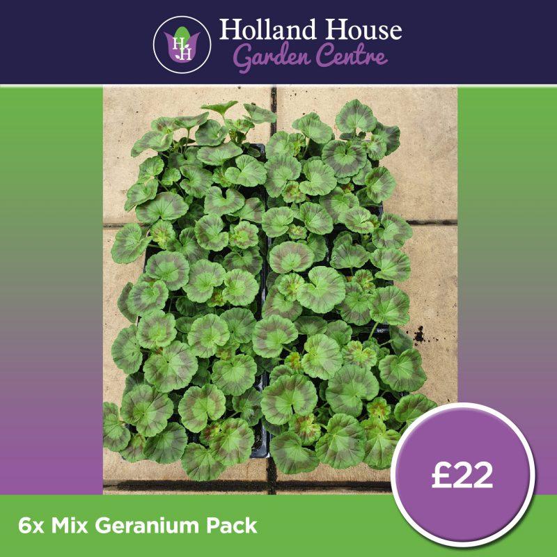 6 Mix Geranium