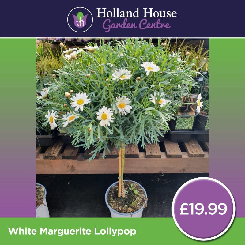 White Marguerite Lollypop
