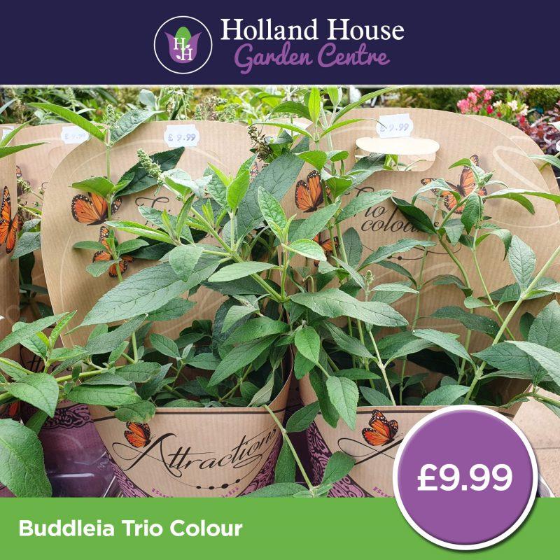 Buddleia Trio Colour
