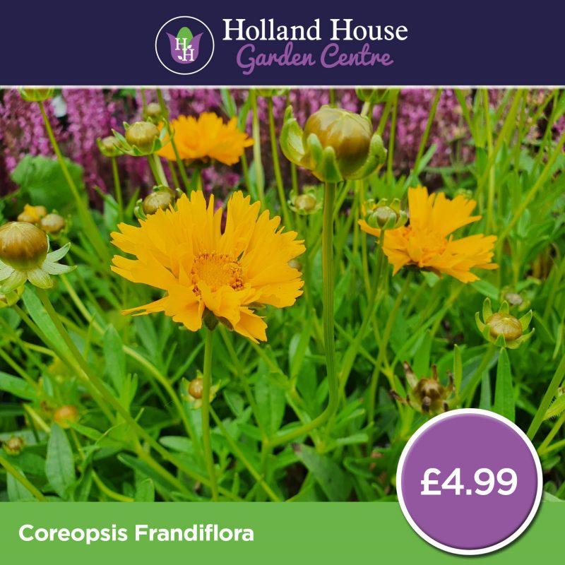 Coreopsis Frandiflora