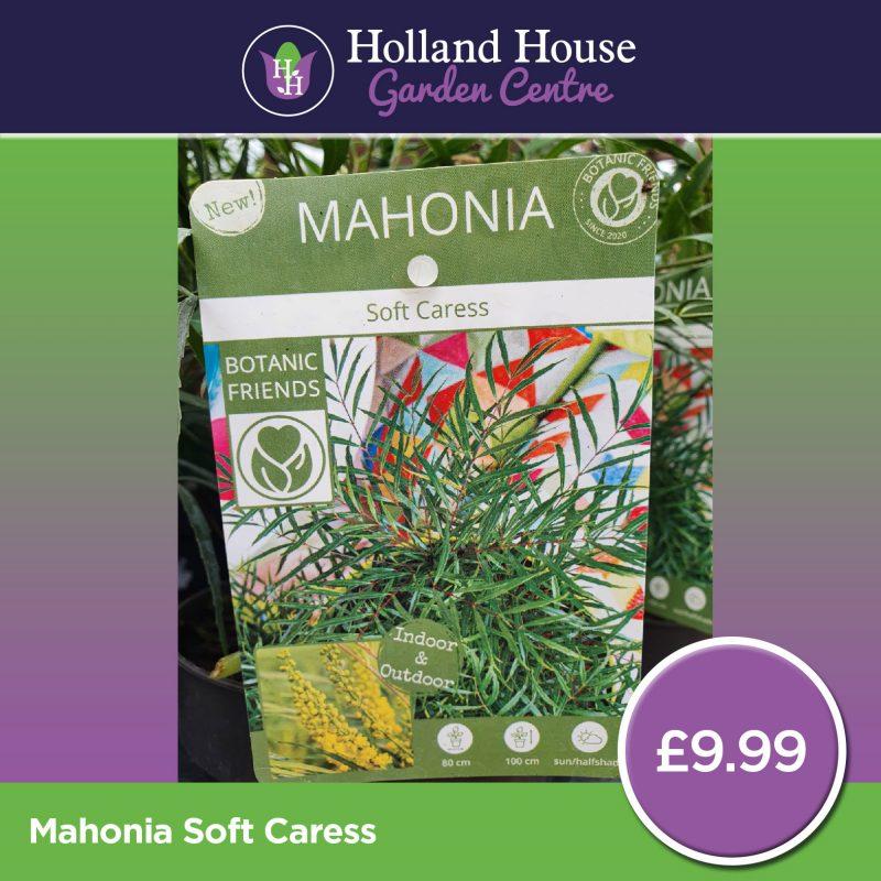 Mahonia Soft Caress