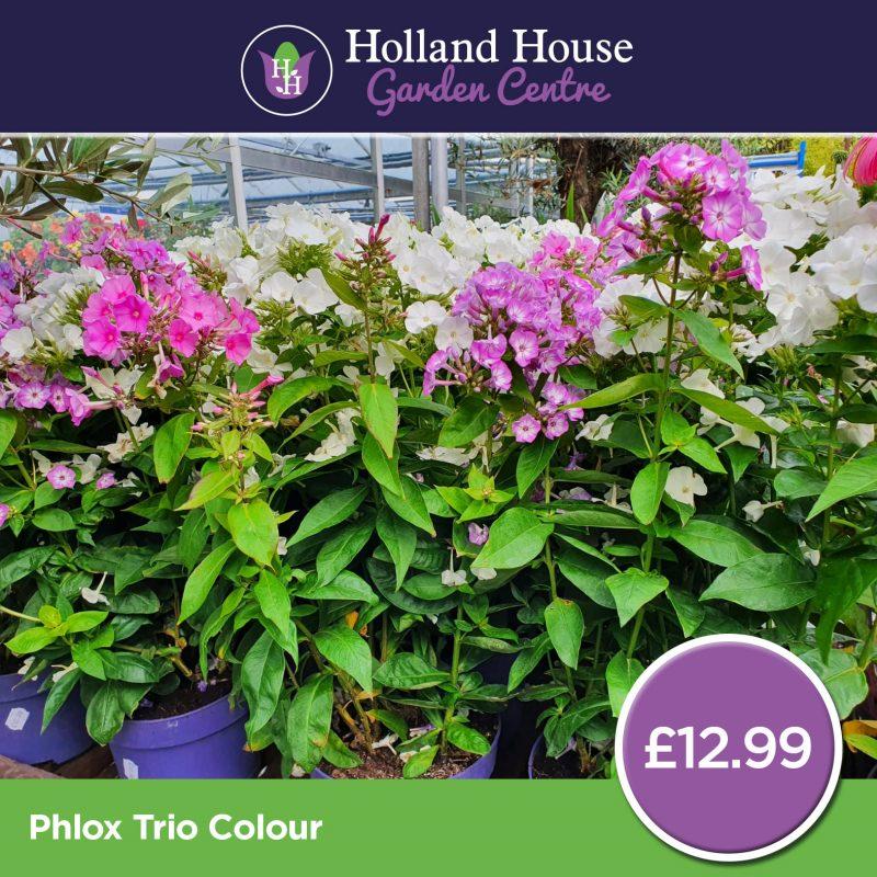 Phlox Trio Colour