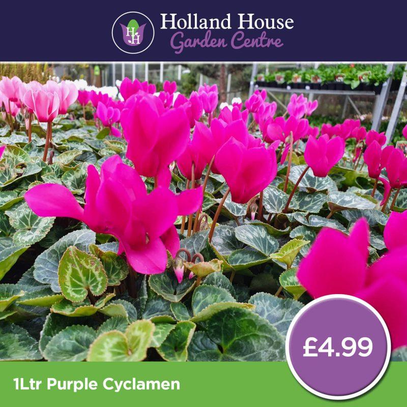 1ltr Purple Cyclamen