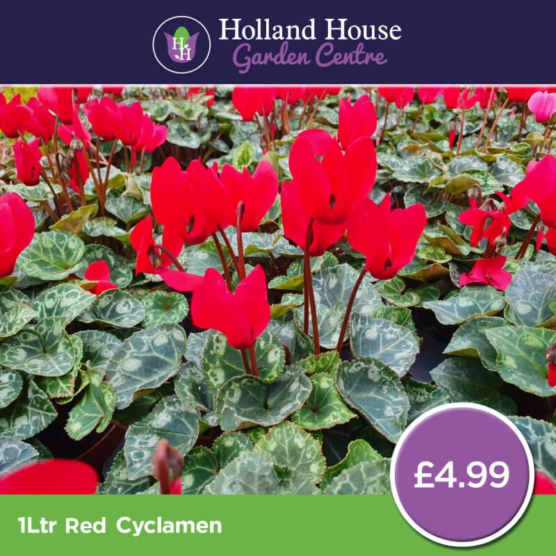 1ltr Red Cyclamen