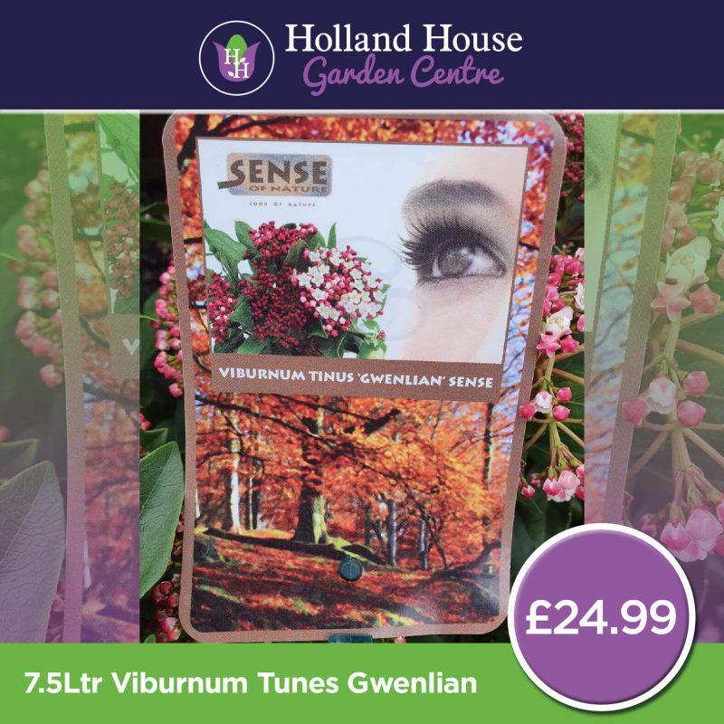 7.5ltr Viburnum Gwenlian