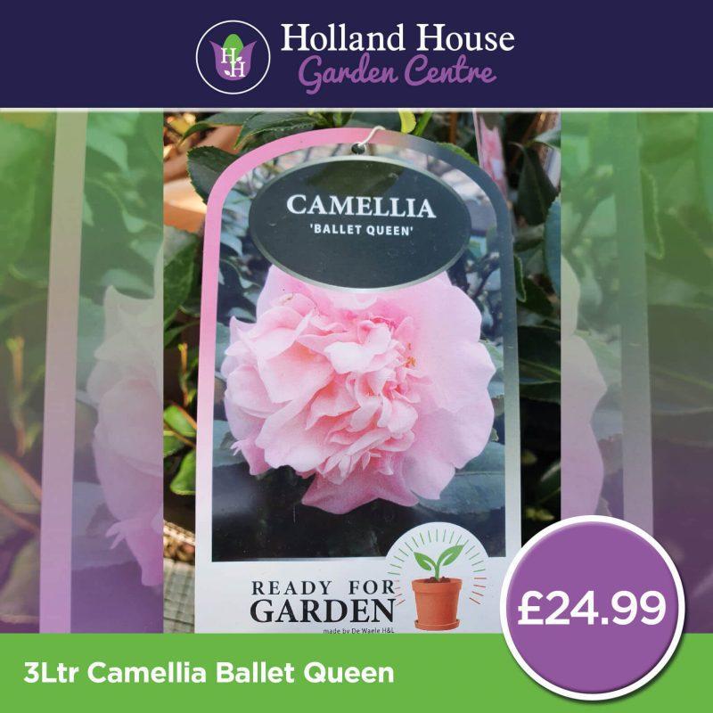 Camellia Ballet Queen