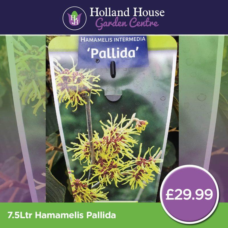 Hamamelis Pallida