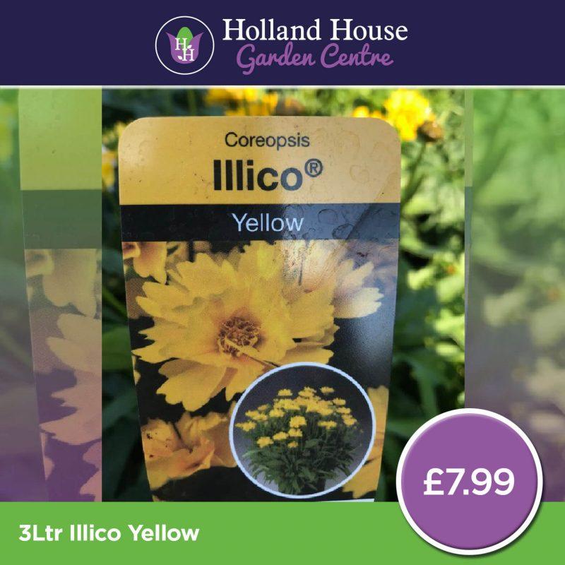 Coreopsis Grandiflora (Tickseed) Illico Yellow