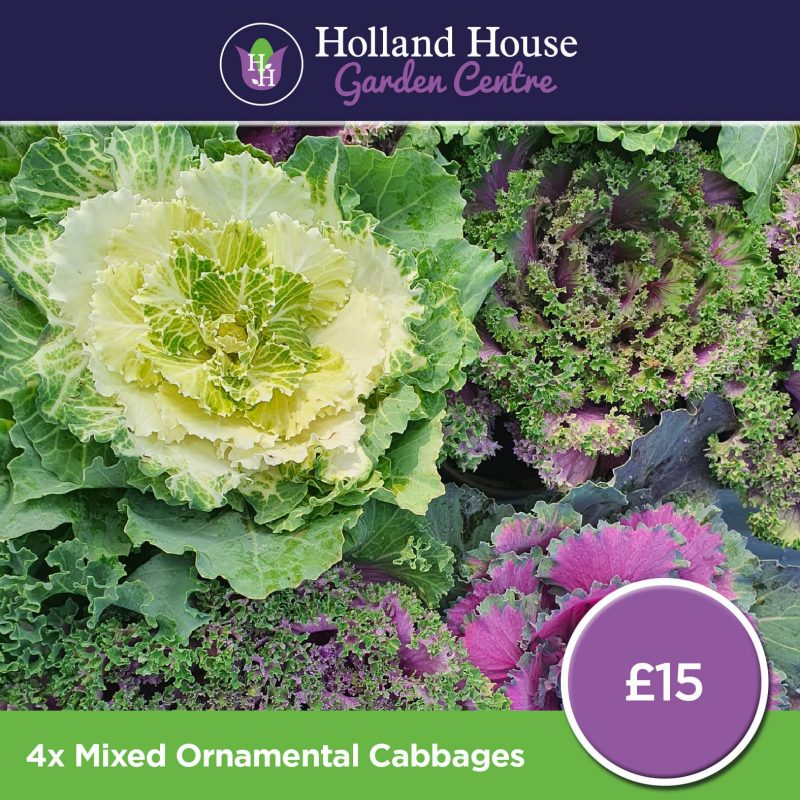 4x Mixed Ornamental Cabbages