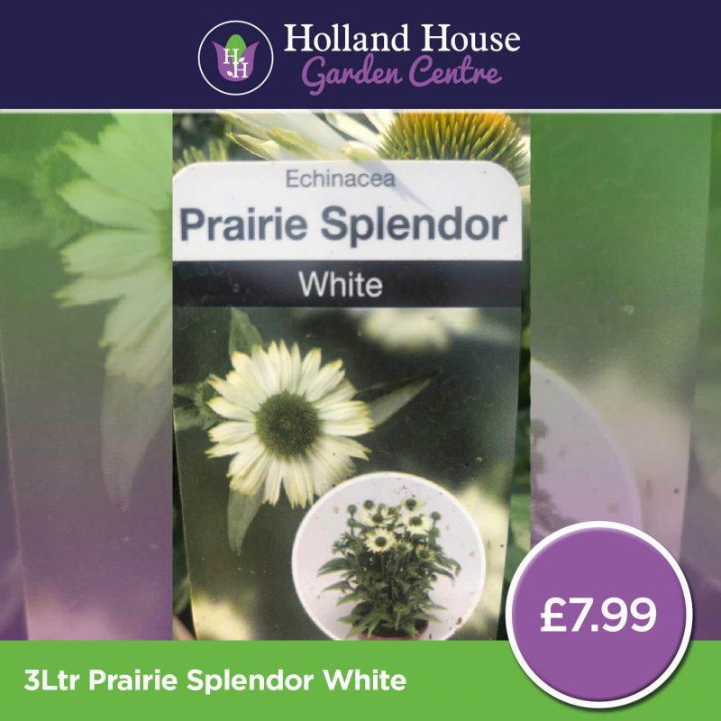 Echinacea Prairie Splendor White