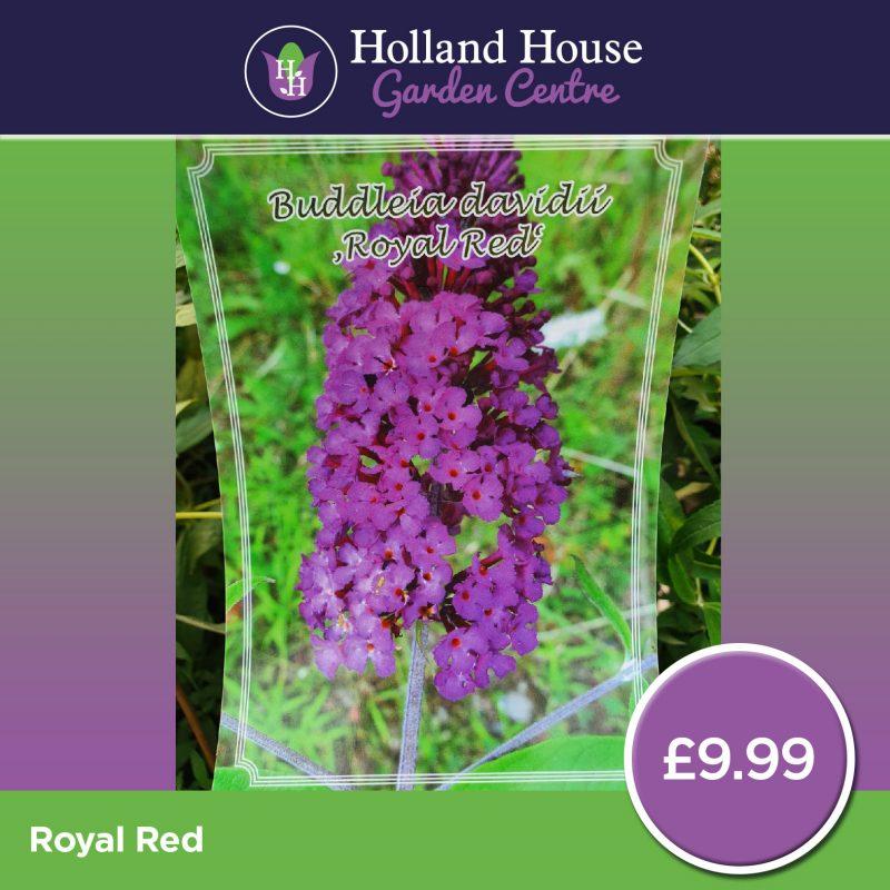 Buddleia davidii Royal Red