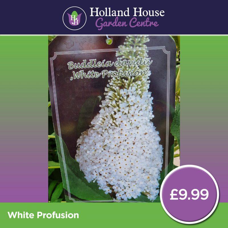 Buddleia White Profusion