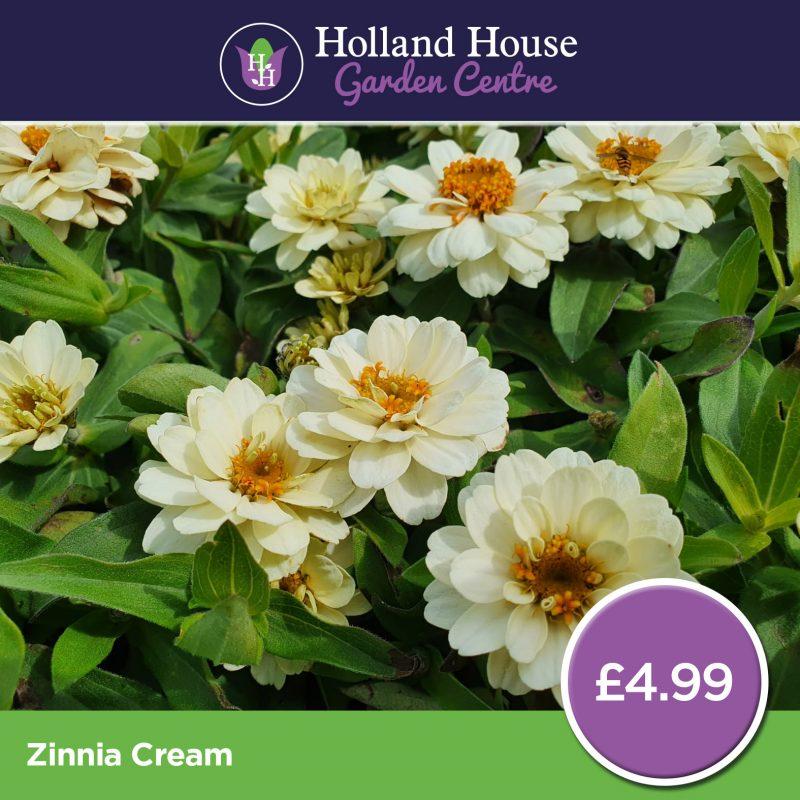 Zinnia Cream
