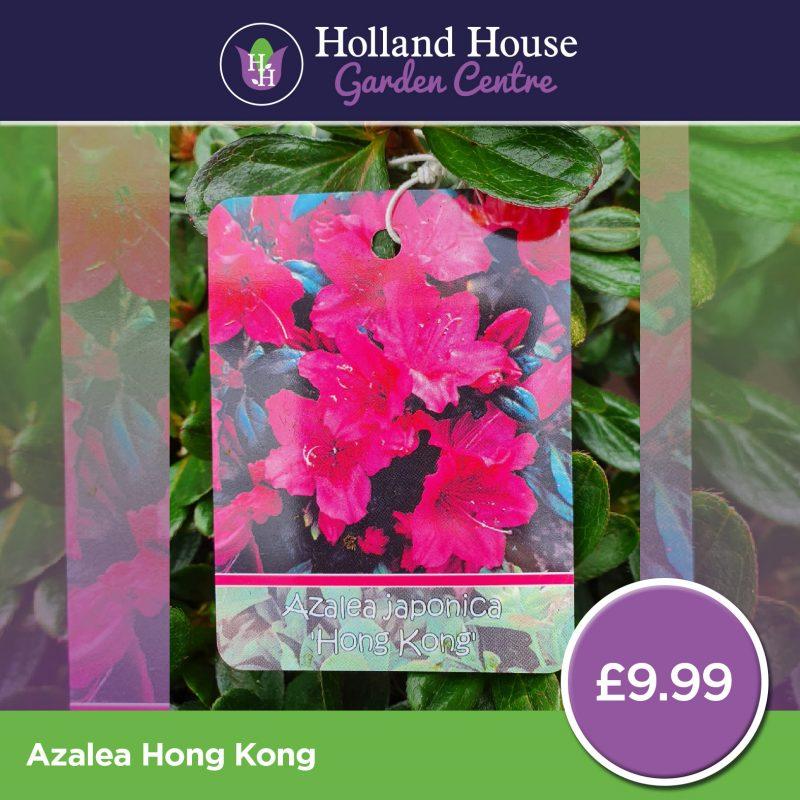 Azalea Hong Kong