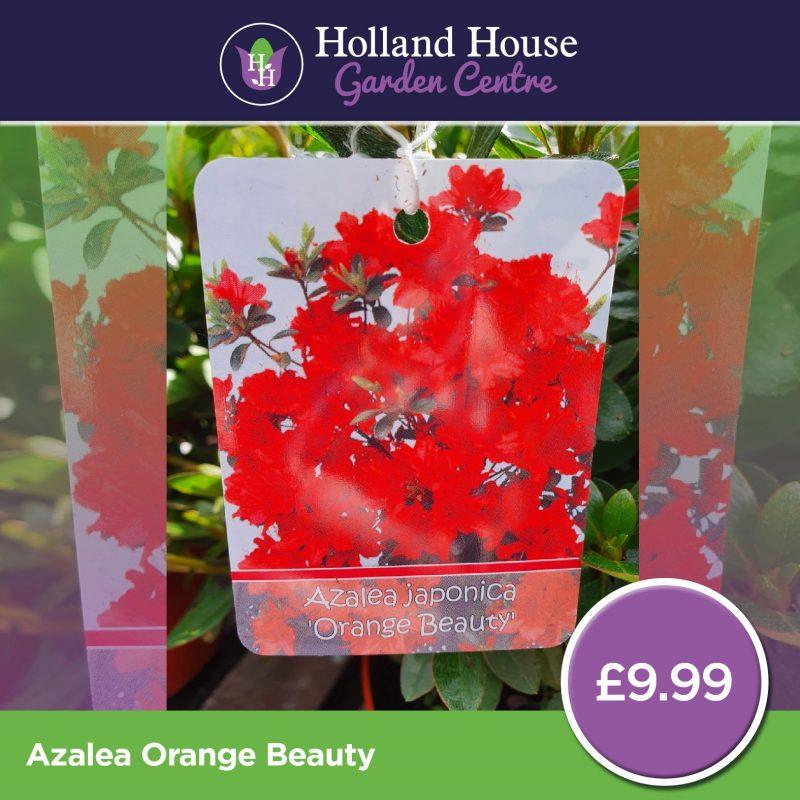Azalea Orange Beauty