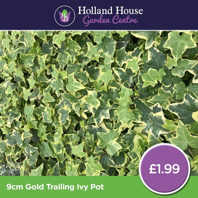 Gold Trailing Ivy - 9cm Pot
