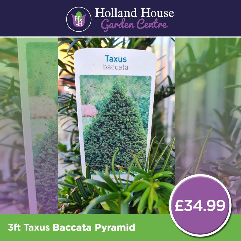 Taxus Baccata Pyramid
